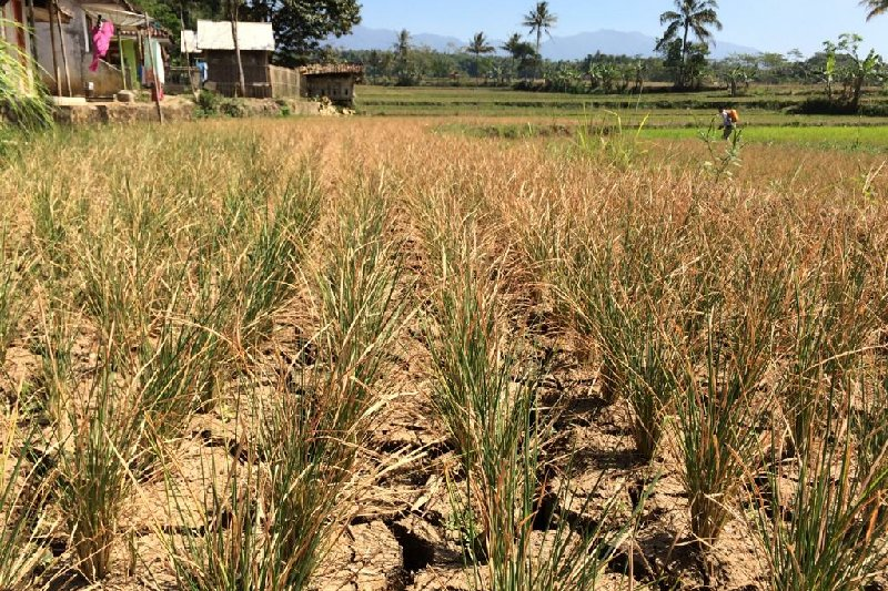 Areal pertanian Tasikmalaya terancam gagal panen