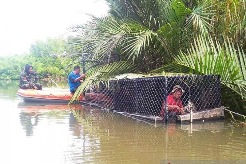 BKSDA Aceh berhasil tangkap buaya pemangsa warga