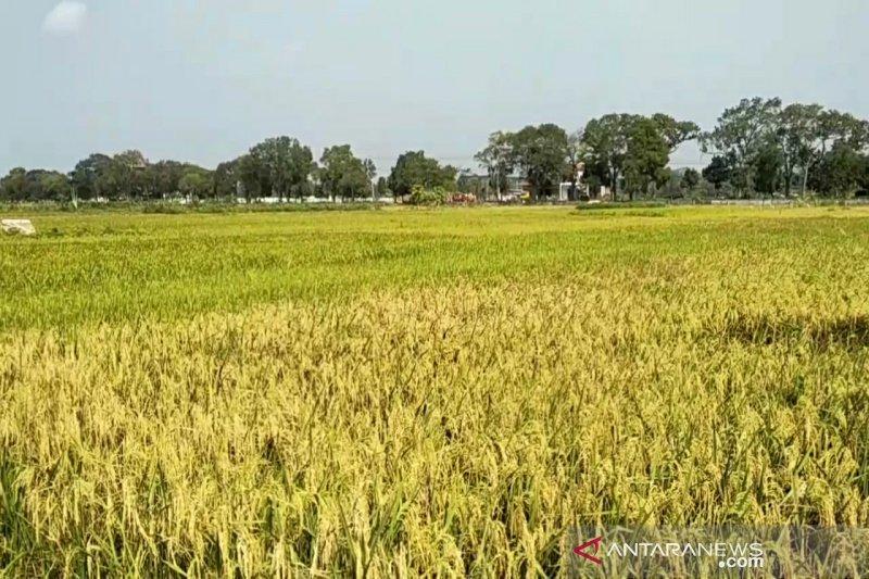 Petani Gunung Kidul memanfaatkan padi puso untuk pakan ternak