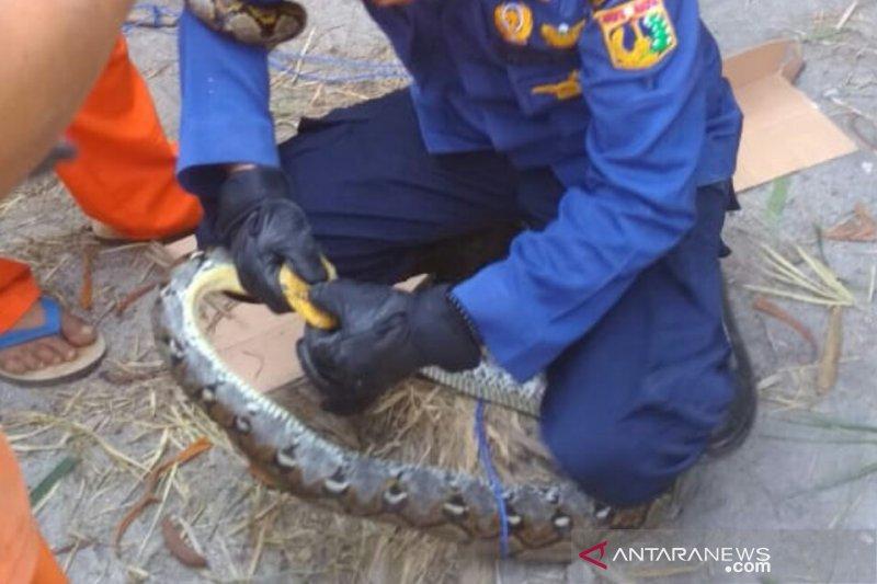 Warga Kepulauan Seribu dikejutkan penemuan tiga ekor ular sanca