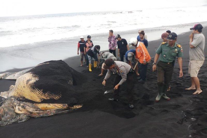 Polisi bersama warga kubur bangkai paus terdampar di Lumajang