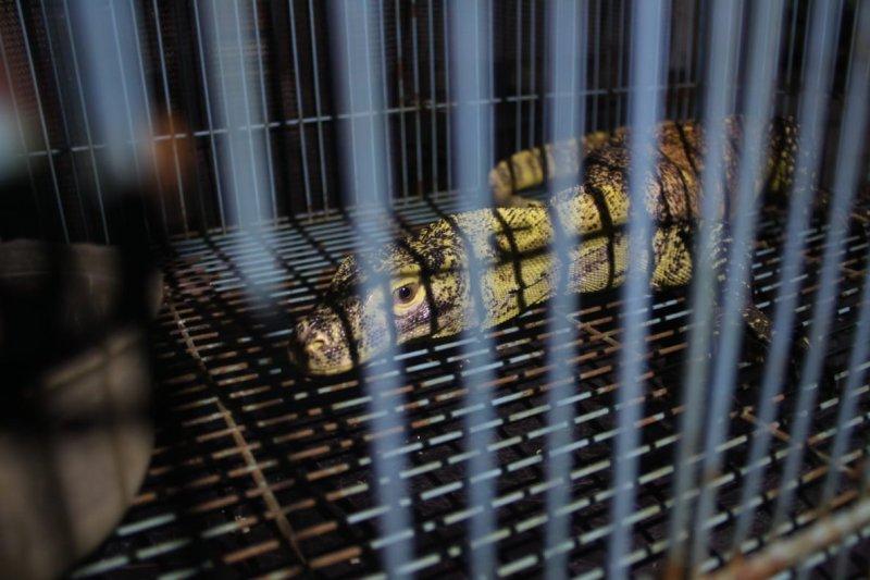 Enam ekor komodo dilepasliarkan ke habitat aslinya