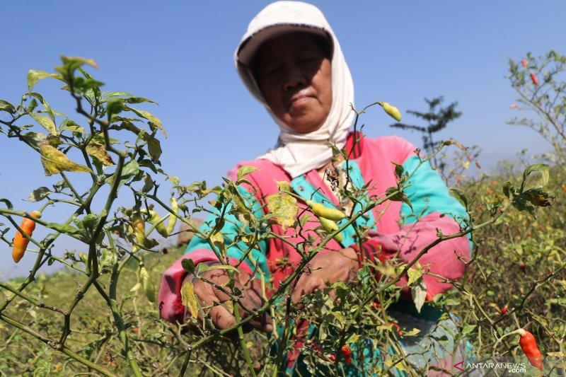 Harga cabai rawit di Kediri naik seiring musim panen raya cabai berakhir