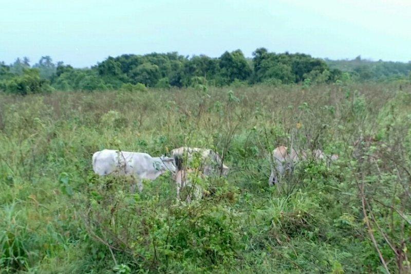 Ratusan ekor ternak kerbau di TN Way Kambas dikeluarkan
