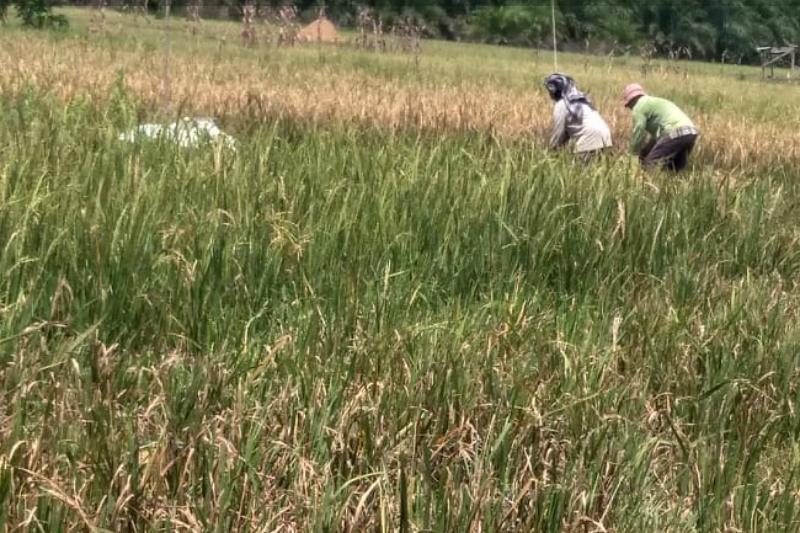 Petani di Nagari Bahagia sedang tak bahagia karena diancam kerugian