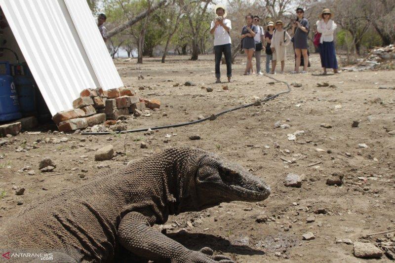 Komodo di TNK berjumlah 2.800 ekor