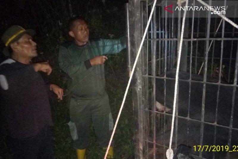 Beruang madu yang terjerat di kebun warga Talamau Pasaman Barat dievakuasi