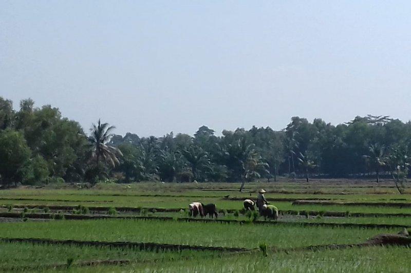 Petani di Lampung Timur tetap menanam padi