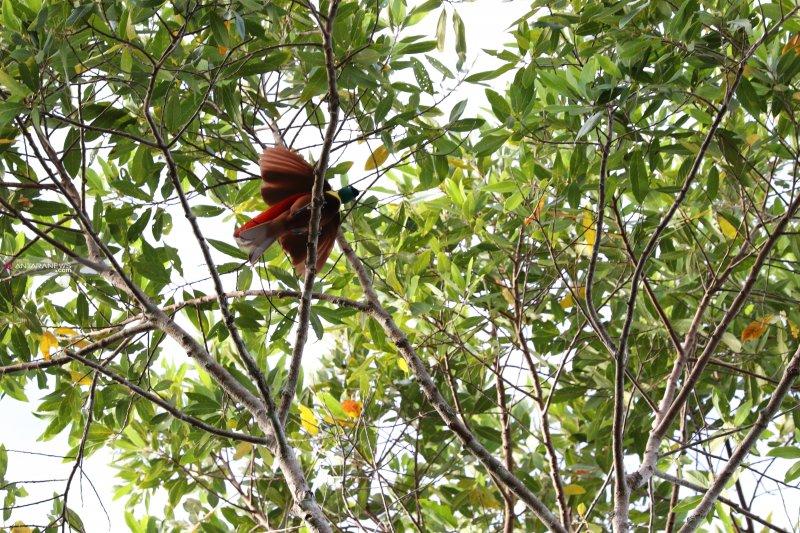 Kampung Warkesi Raja Ampat tempat nonton burung cendrawasih menari
