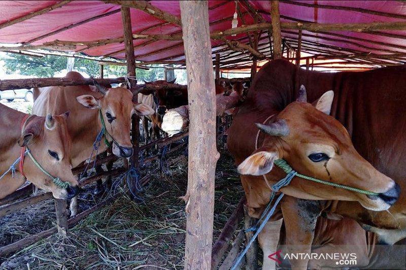 Pedagang hewan kurban mulai bermunculan di Pekanbaru