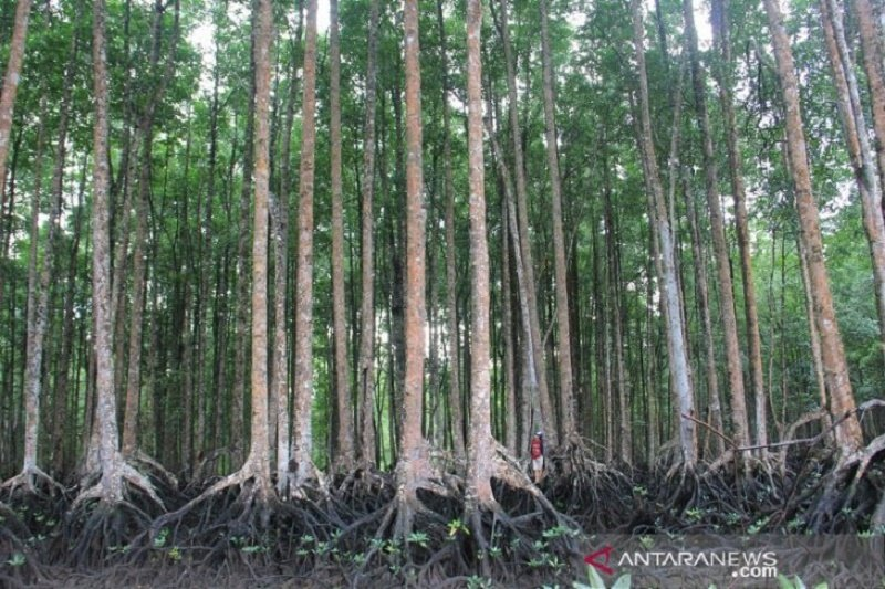 Hutan mangrove Langsa terlengkap di Asia Tenggara