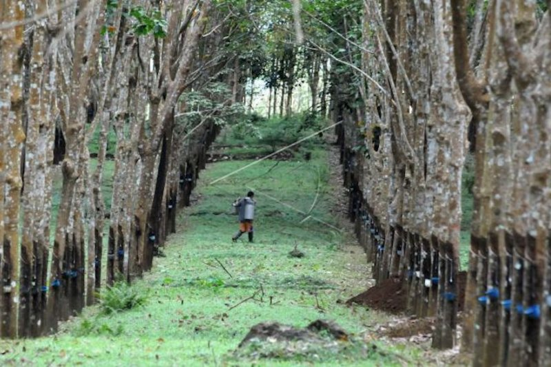 Produksi karet Sumsel  melorot 60 persen akibat penyakit gugur daun