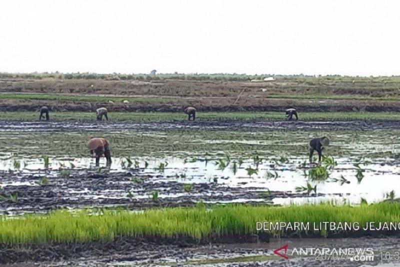Balitbangtan kembangkan budi daya ternak itik di lahan rawa
