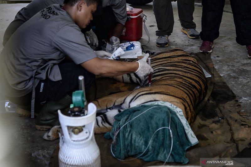 Riau butuh satgas penanganan konflik harimau sumatra dengan manusia, ini sebabnya