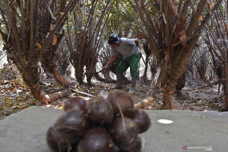 Konservasi tanaman salak Condet