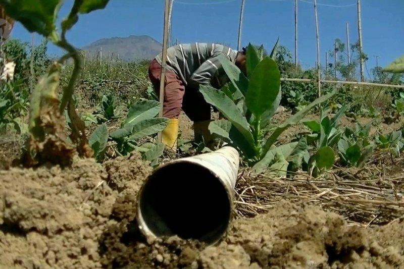 Petani sewa mesin pompa air demi tanaman tembakau