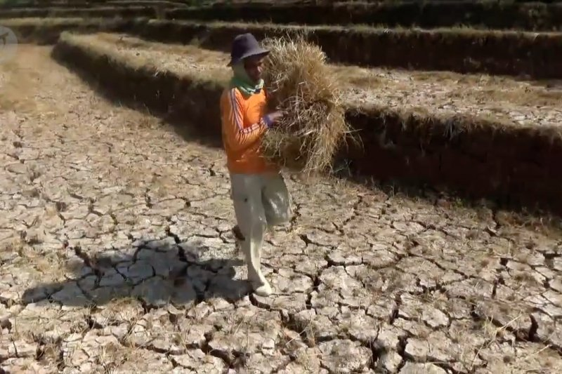 Normalisasi embung Taman Arum, hektaran areal persawahan gagal panen