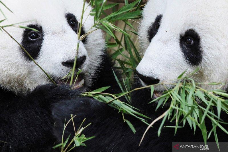 Pakar China persiapkan otopsi panda di Kebun Binatang Thailand