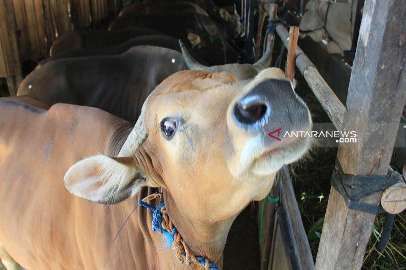 Jelang Idul Adha gratis periksa kesehatan hewan kurban di Solok Selatan