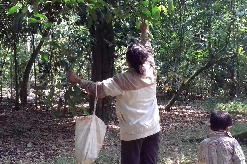 Durian montong Maringgai kian sulit ditemukan