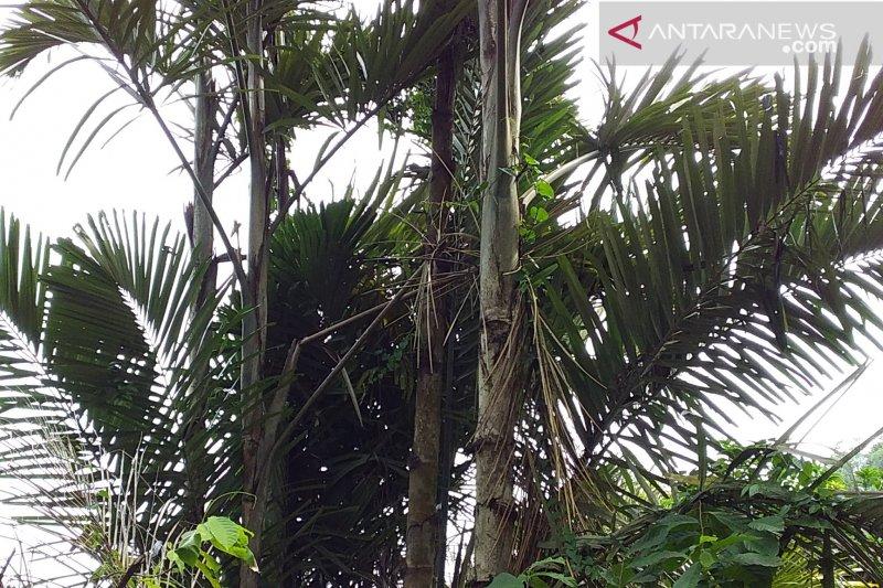 """""""Sagu Baruk"""" beri peran besar penuhi kebutuhan pangan di Kepulauan Sangihe"""