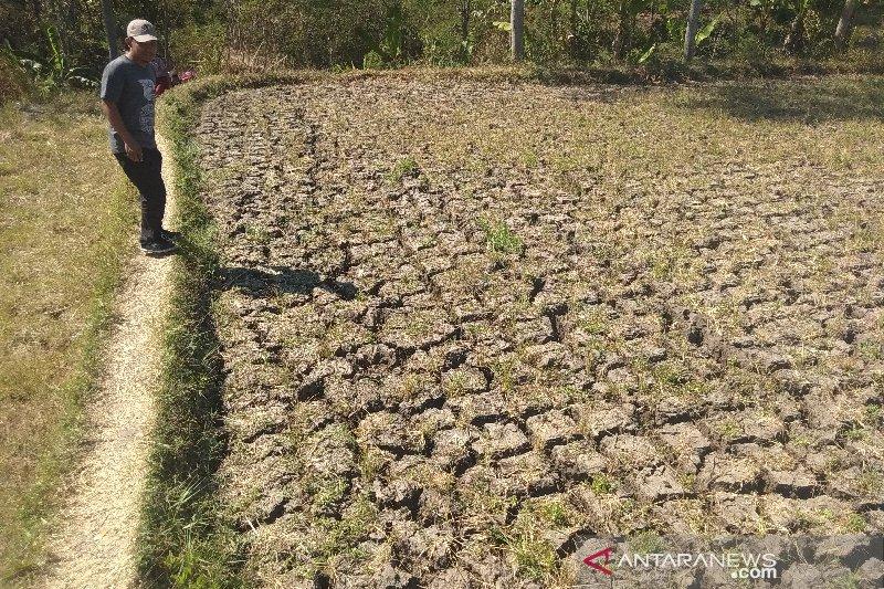 Lahan pertanian kekeringan akibat kemarau, para petani menganggur tak bisa bertani
