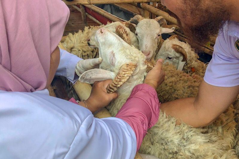 Hewan tidak layak kurban di Yogyakarta belum ditemukan