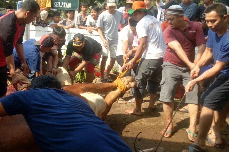 Taklukkan sapi kurban 'Limosin' Anies butuh 15 orang
