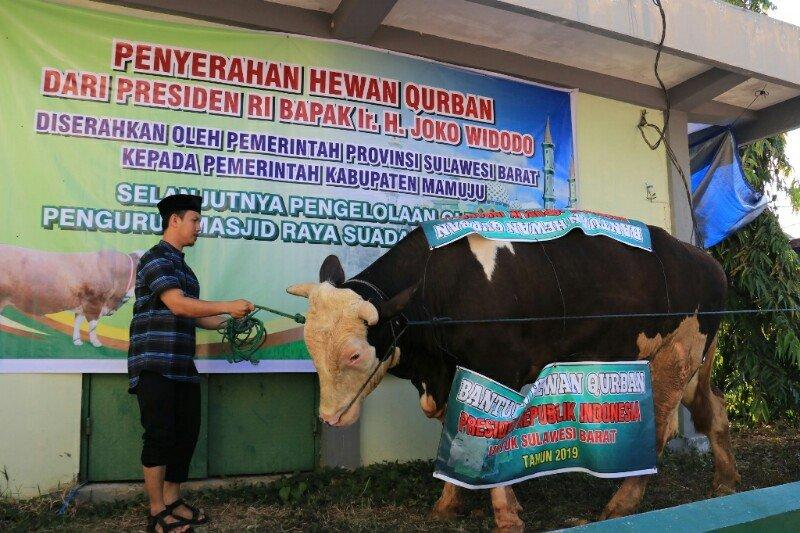 Sapi dari Presiden disembelih di Masjid Raya Kabupaten Mamuju