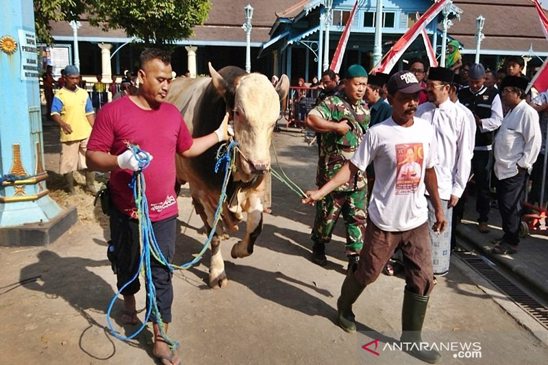 Jokowi kurban sapi jumbo, butuh puluhan orang untuk merobohkannya
