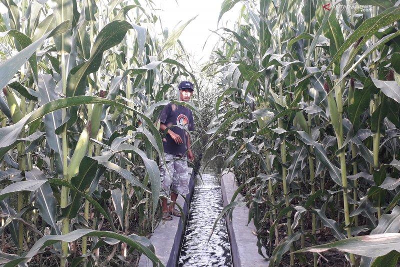 Tanaman jagung petani terserang virus bulai