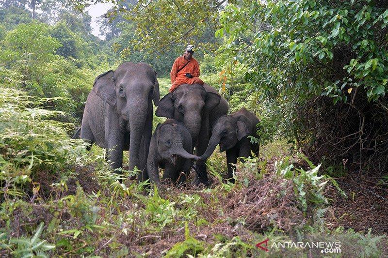 Gajah sumatera di Tesso Nilo stres akibat kebakaran lahan