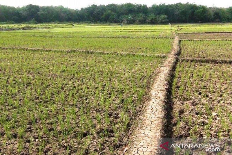 Tanah mulai retak-retak, puluhan hektare tanaman padi terancam gagal dipanen