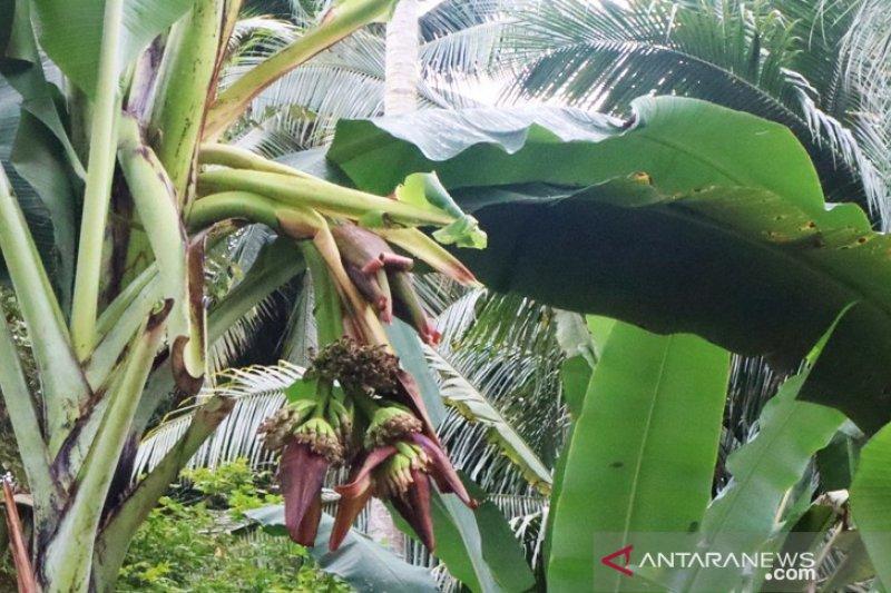 Batang pisang dengan empat jantung tumbuh di Pariaman