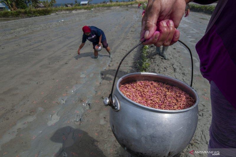 Petani sawah di Sigi pertahankan cara tradisional menanam