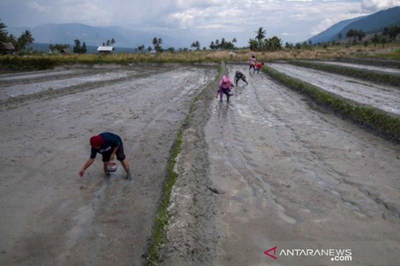 Pertahankan cara tanam padi tradisional