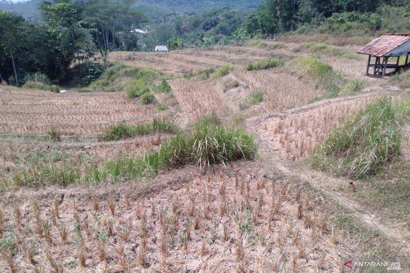 Ribuan hektare sawah gagal tanam di Karawang
