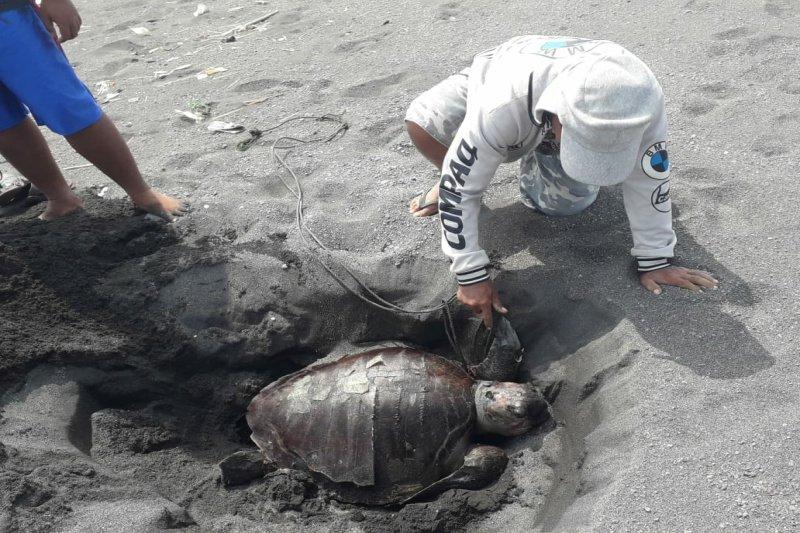 Seekor penyu mati terdampar di Pantai Karangwuni