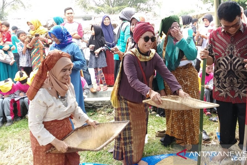 Sensasi manampi padi di Festival Sumarak Luhan Nan Tuo