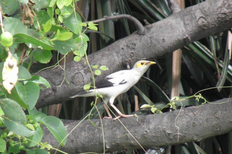 Pelepasliaran jalak putih dan upaya meningkatkan populasinya di habitat alamminya