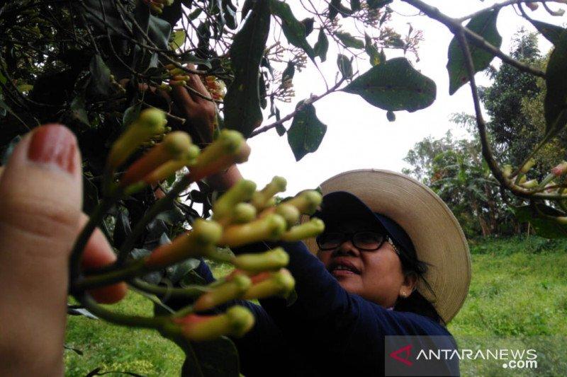 Harga cengkih di Sulawesi Utara turun tipis
