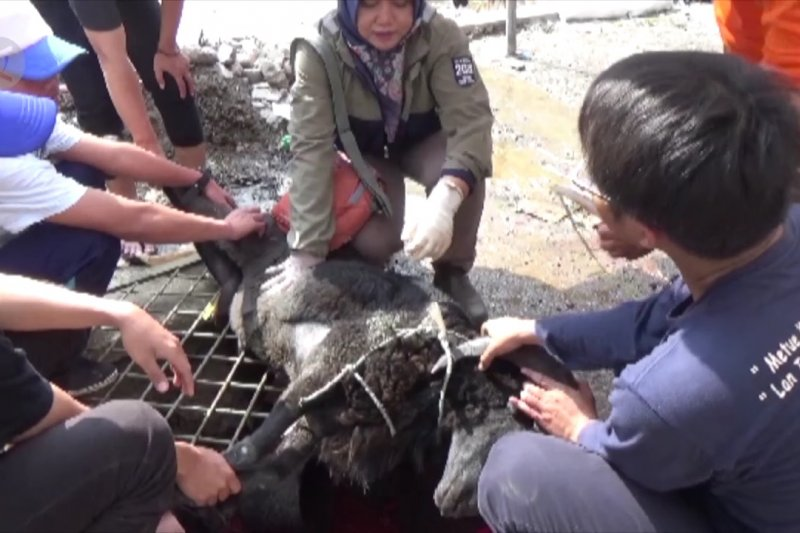DPPKP Kota Cirebon sidak kesehatan daging kurban