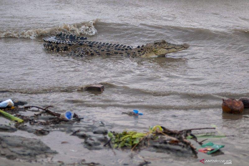 Buaya rawa menjadi kendala pencarian korban kapal karam di Riau