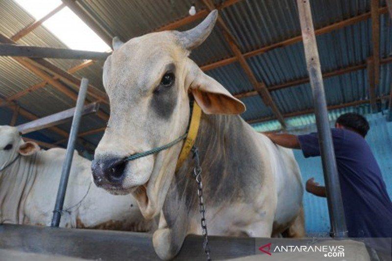 Anggaran sapi bunting di Blora dikorupsi