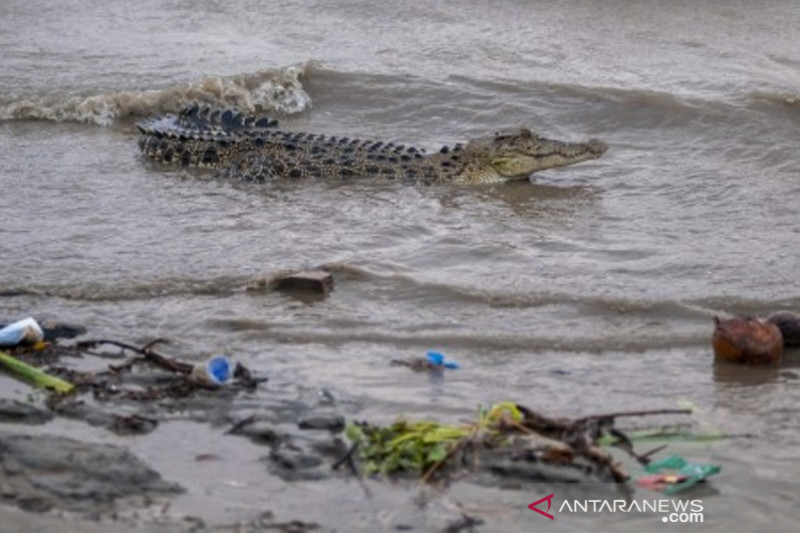 Habitat buaya di sungai Palu penuh sampah