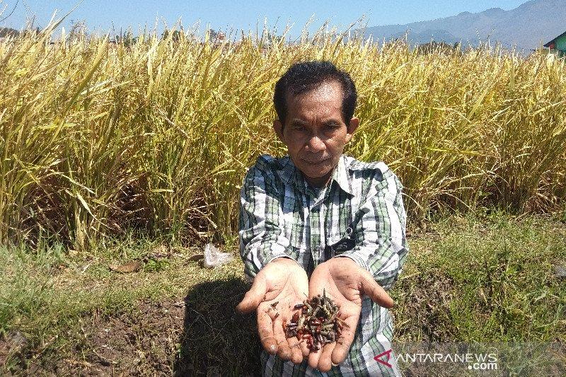 Hama ulat rusak tanaman padi siap panen