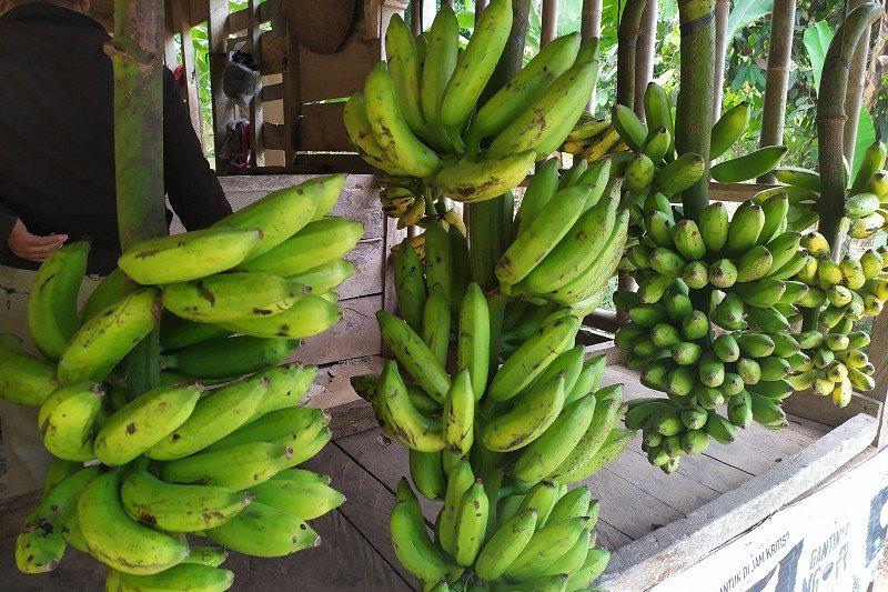 Pedagang pisang sulit peroleh pasokan akibat musim kemarau