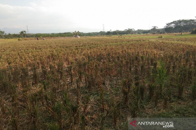 Waduh, Puluhan hektare sawah di Batang rawan gagal panen