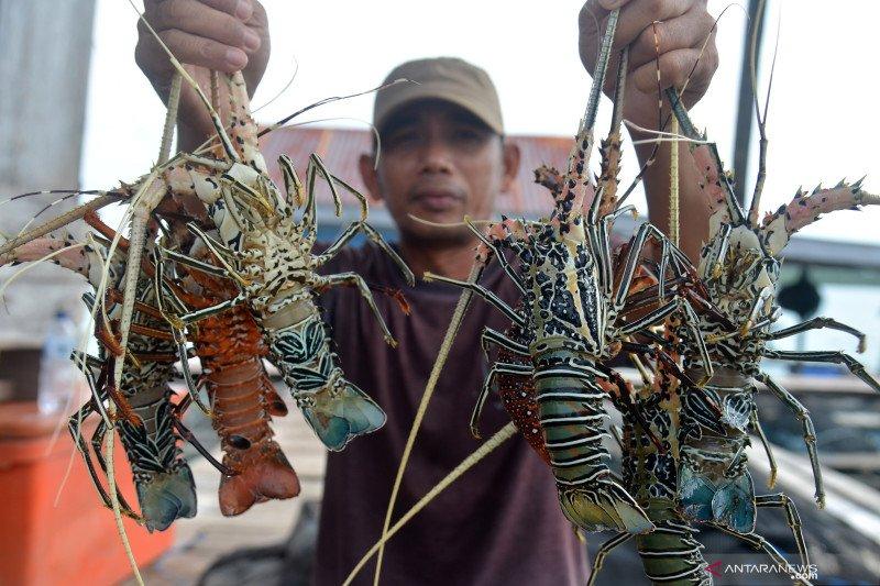 Dirjen KKP ungkap pedoman minimal persyaratan budidaya lobster
