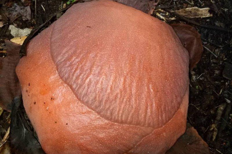 Unduh 650 Koleksi Gambar Bunga Rafflesia Arnoldi HD Gratid